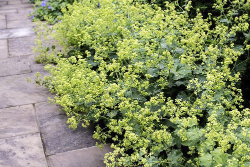 Flowering Alchemilla mollis spilling onto Yorkstone garden path - © GAP Photos/Paul Debois