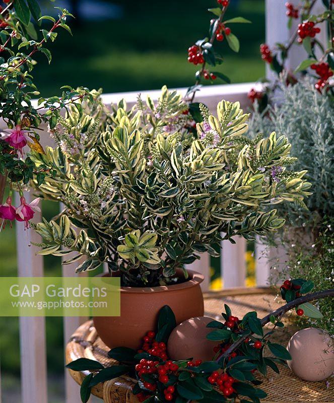 GAP Gardens - Hebe x andersonii \'Variegata\' in pot on table - Image ...