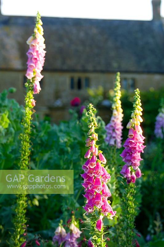 Digitalis purpurea - Foxgloves with Hamstone Farmhouse in background, Lower Severalls in Somerset