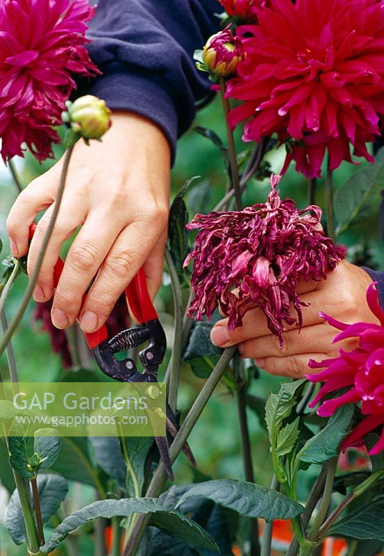 Dead heading Dahlias with secateurs