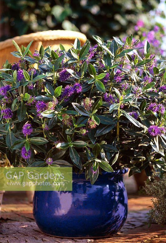GAP Gardens - Hebe x andersonii grown in glazed pot - Image No ...