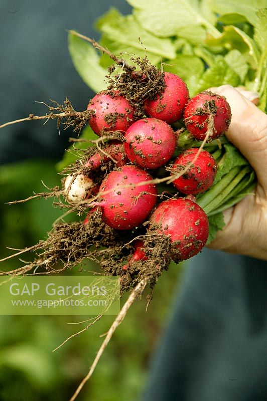 Hand holding a bunch of radishes newly pulled from the ground