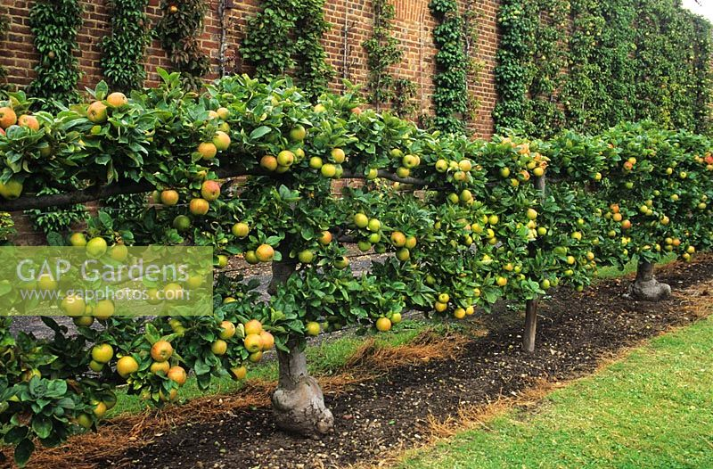 Espalier Trained Malus U0027King Of The Pippinsu0027 At Hatton Fruit Garden In Kent