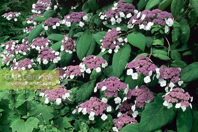 gap gardens hydrangea aspera var macrophylla image no. Black Bedroom Furniture Sets. Home Design Ideas