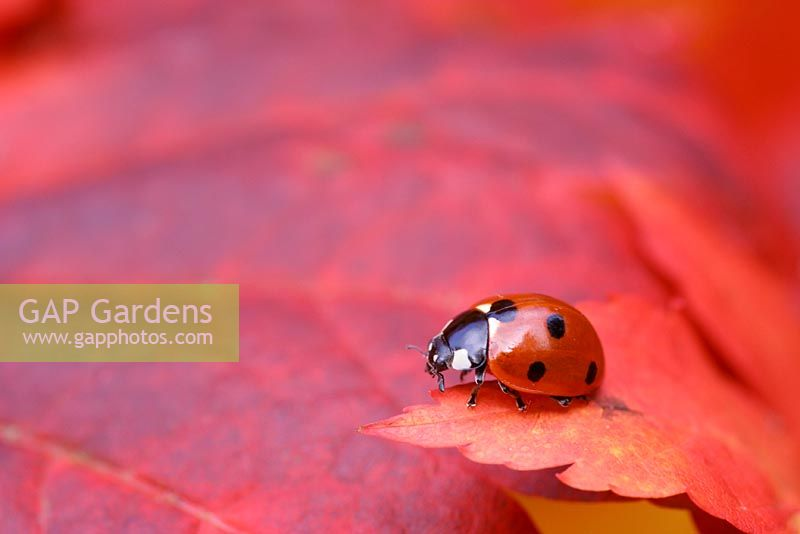 Ladybird on red Acer palmatum leaf searching for aphids in October