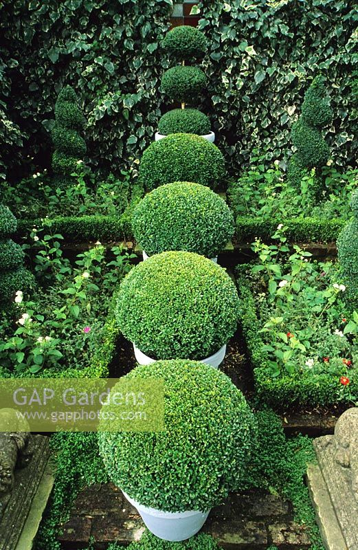 Row of four boxwood spheres in pale painted pots in shady walled garden