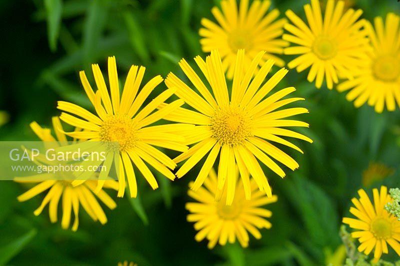 Gap Gardens Bupthalum Salicifolium Closeup Of Yellow Star Shaped