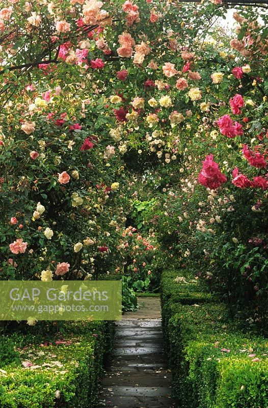 GAP Gardens - Rosa pergola tunnel with boxwood hedges and path at ...