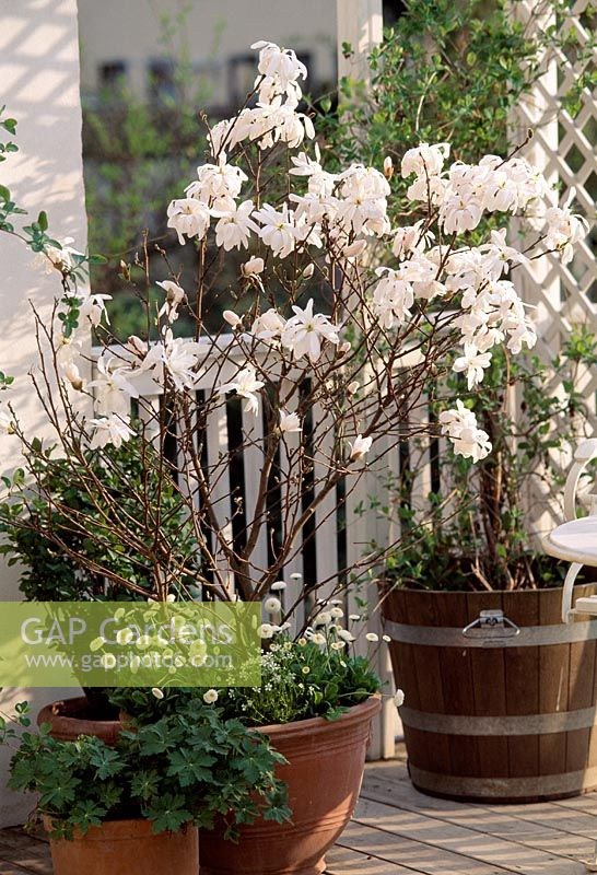 Container with Magnolia stellata and Bellis flowering in spring