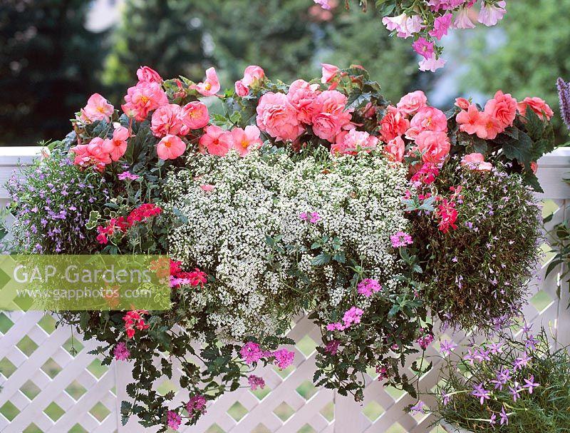 Gap Gardens Windowbox With Begonia Nonstop Hellrosa
