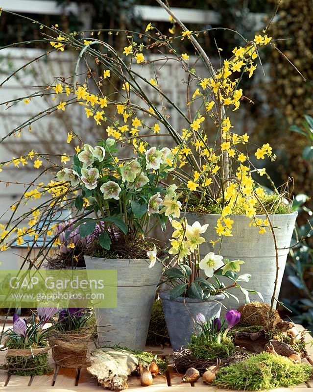 Spring containers with Jasminum nudiflorum, Helleborus niger and Crocus vernus