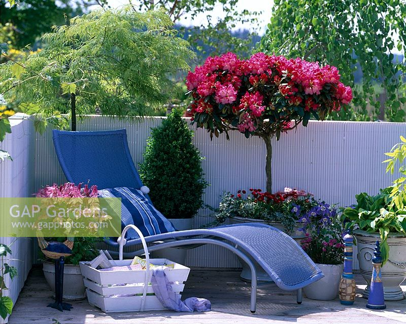 Blue sunlounger surrounded by spring containers. Rhododendron yakushimanum 'Morgenrot', Acer palmatum 'Dissectum' and Aquilegia