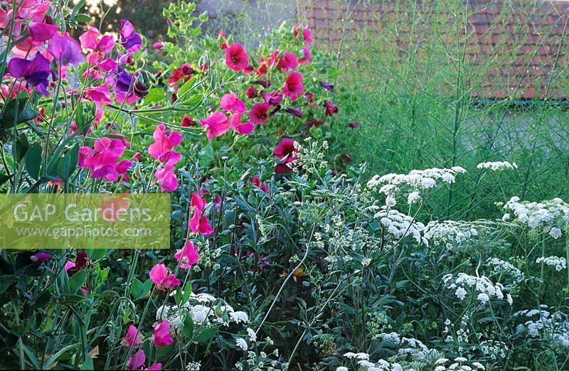 Informal summer border with Lathyrus - Sweet Pea and Ammi majus - Bishop's Flower at Gowan Cottage in Suffolk