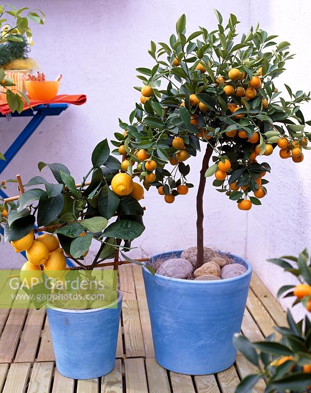 Containers with Citrus limon 'Florentina' and Citrofortunella microcarpa
