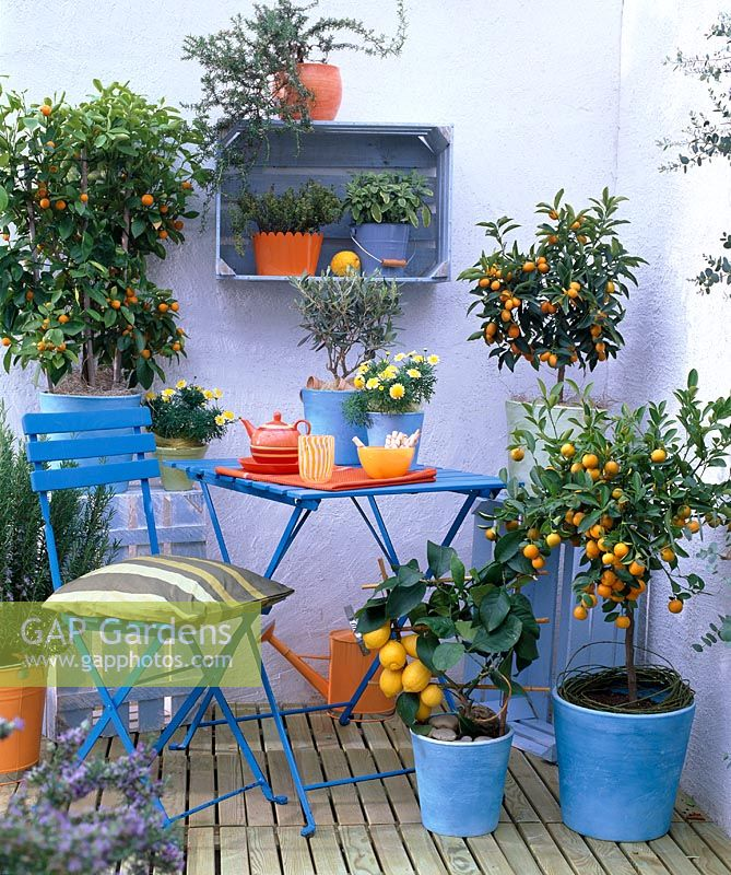 Blue containers with Citrus limon 'Florentina', Fortunella  Citrofortunella, Olea, Rosmarinus, Salvia, and Thymus