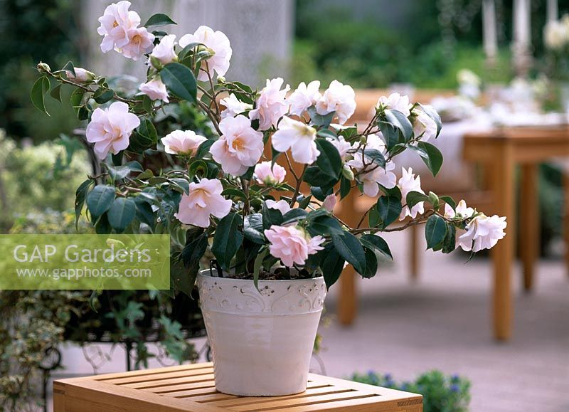 Gap gardens pot with camellia japonica 39 berenice boddy 39 image no 0017707 photo by - Camellia japonica en pot ...