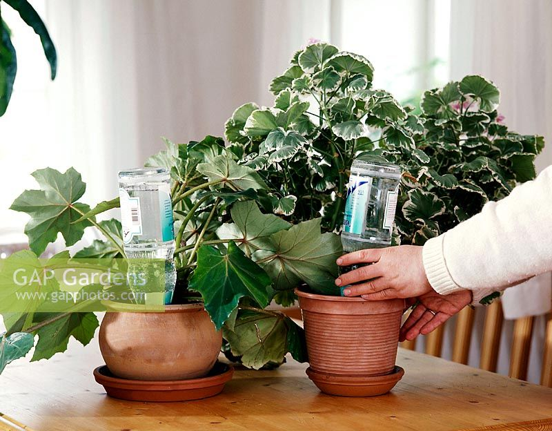 Watering houseplants while away on holiday by placing a filled water bottle upside down in the pot