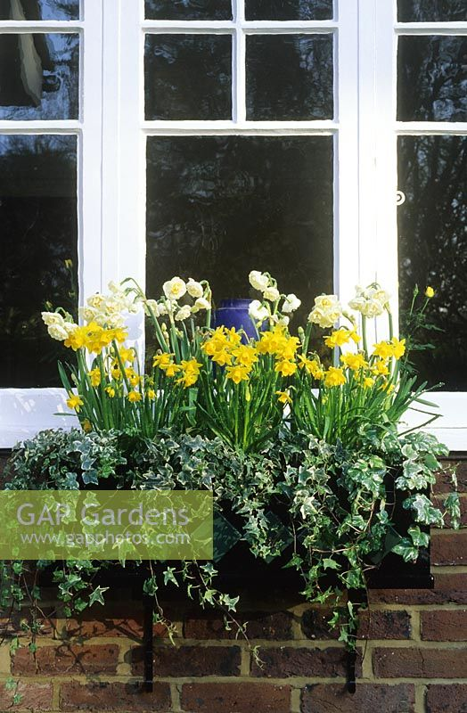Spring bulbs in window box. Hedera - Ivy,  Narcissus 'Tete a Tete' and 'Bridal Crown'