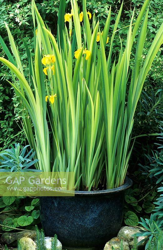 Iris pseudacorus 'Variegata' in water filled container