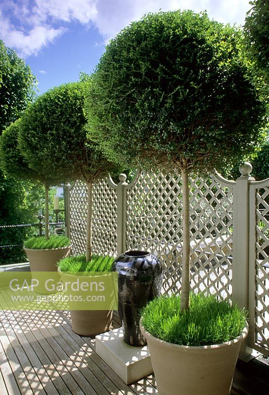 Row Of Small Trees In Pots Along Trellis Fence On Roof Garden