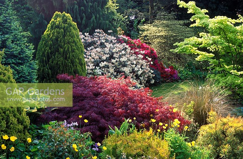gap gardens shrubs border acer palmatum dissectum rhododendron acer shirasawanum 39 aureum. Black Bedroom Furniture Sets. Home Design Ideas