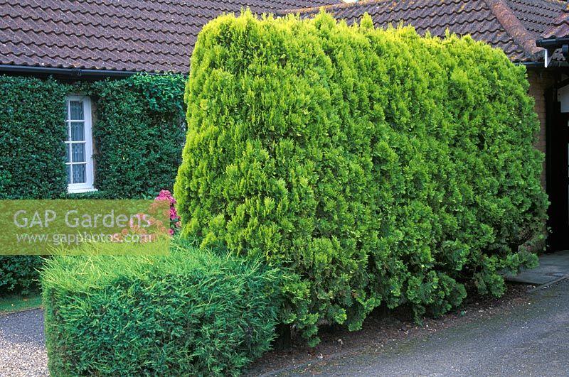 gap gardens conifer hedge of platycladus orientalis golden