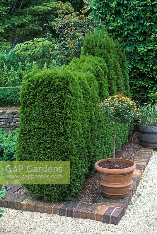 Cedar hedge - Thuja occidentlis 'Smaragd'