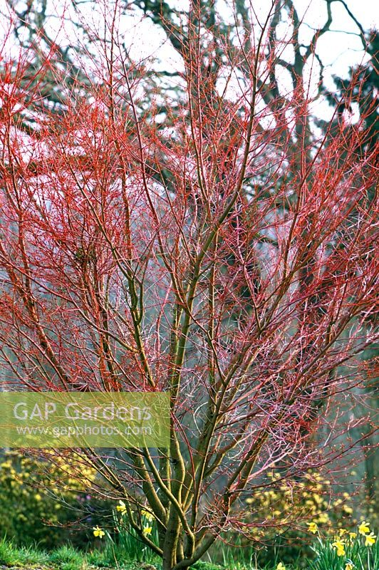gap gardens acer palmatum 39 sango kaku 39 coral bark japanese maple in march image no. Black Bedroom Furniture Sets. Home Design Ideas