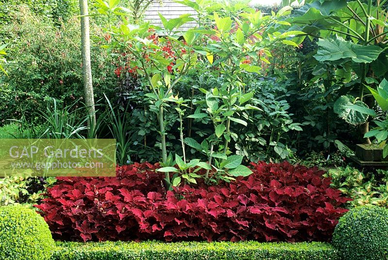 Great Tropical Style Garden With Coleus And Buxus Planting
