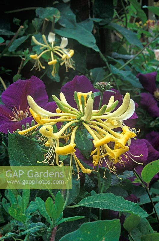 Lonicera periclymenum 'Graham Thomas' - Honeysuckle with Clematis 'Gipsy Queen'