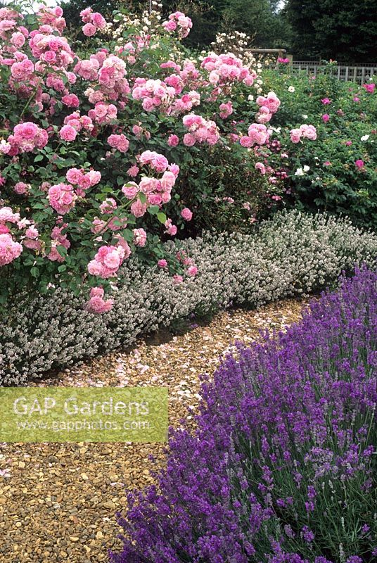 gap gardens lavandula angustifolia 39 princess blue. Black Bedroom Furniture Sets. Home Design Ideas