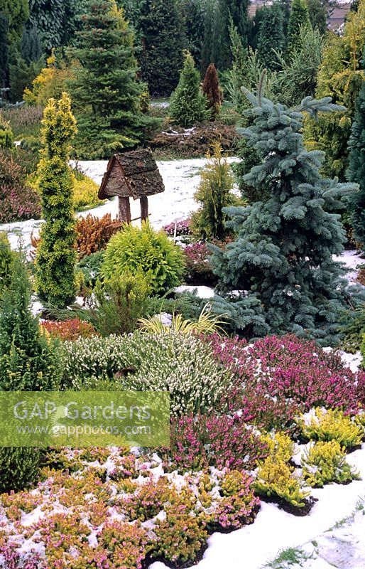 Winter garden with heathers and dwarf conifers