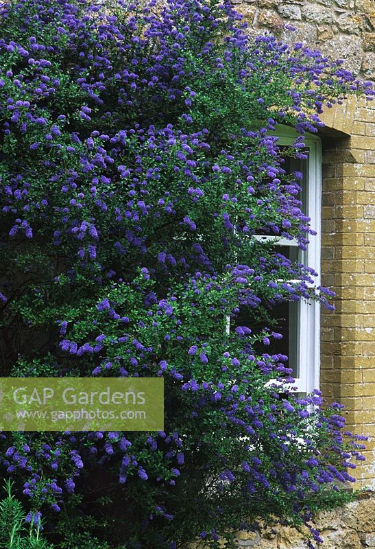 gap gardens ceanothus 39 trewithen blue 39 flowering in may. Black Bedroom Furniture Sets. Home Design Ideas