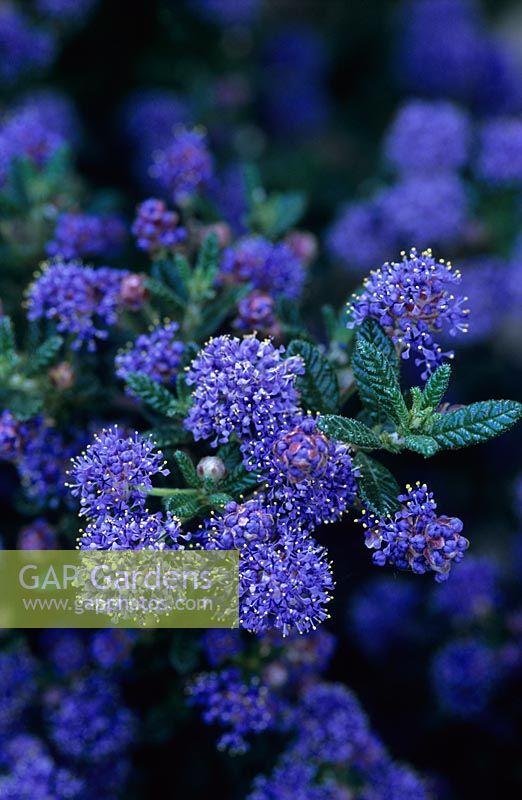gap gardens ceanothus 39 puget blue 39 image no 0028431. Black Bedroom Furniture Sets. Home Design Ideas
