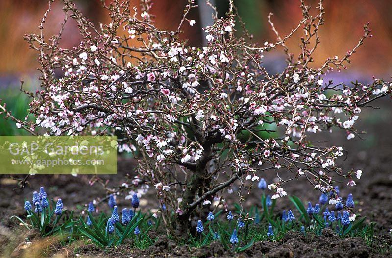 Prunus Incisa Kojo No Mai Fuji Cherry Underplanted With Muscari Azureum