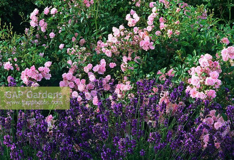 gap gardens rosa 39 the fairy 39 with lavandula 39 imperial. Black Bedroom Furniture Sets. Home Design Ideas