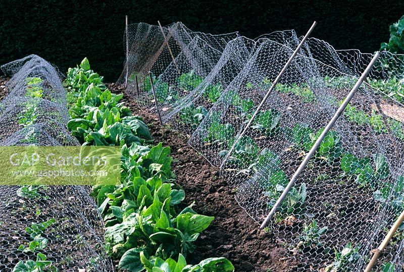 Protecting Brica With Wire Netting In Vegetable Garden
