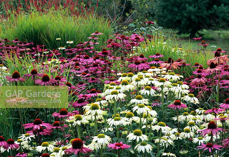 Gap gardens echinaceas and ornamental grasses piet oudolf border echinaceas and ornamental grasses piet oudolf border rhs wisley workwithnaturefo