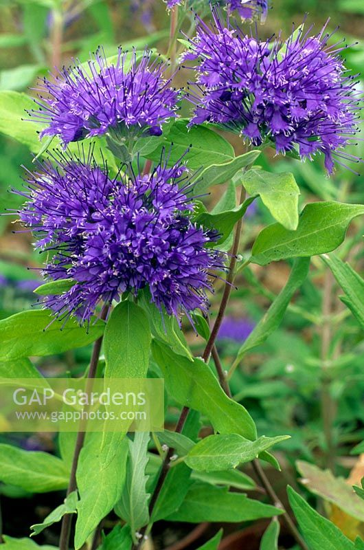 Caryopteris x clandonensis 'Worcester Gold'