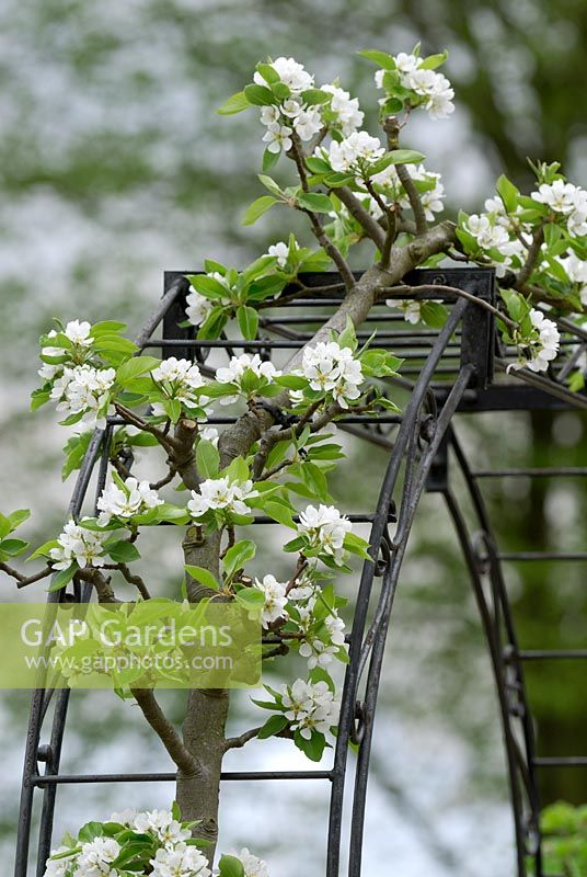 Pyrus 'Beth' - Pear tree trained over arch in spring