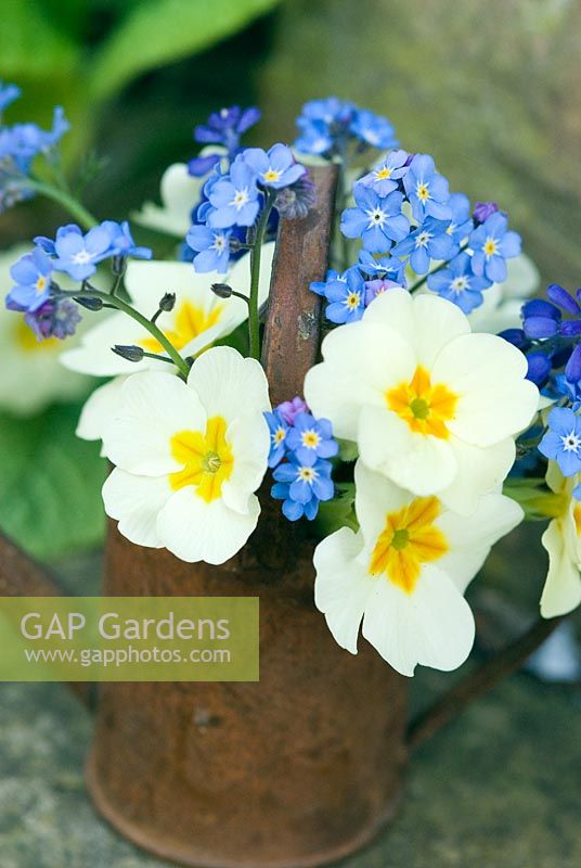 Miniature watering can with spring flowers. Primula vulgaris and  Myosotis