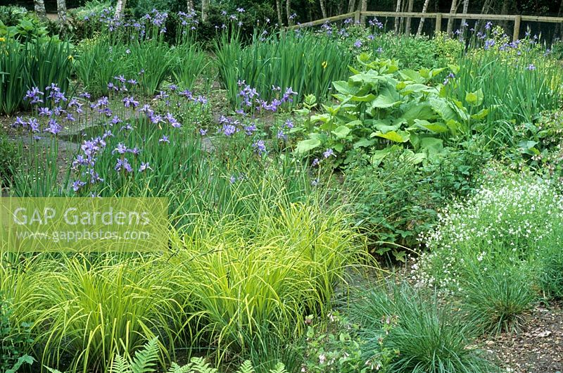 Bog garden with Iris sibirica 'Papillon' at The Wave Garden, Pensthorpe, Norfolk