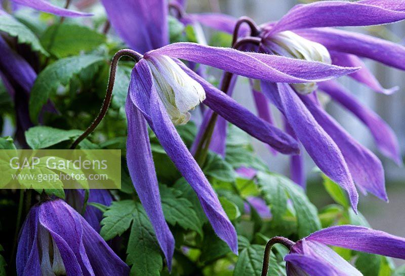 gap gardens clematis alpina 39 frances rivis 39 flowering in. Black Bedroom Furniture Sets. Home Design Ideas