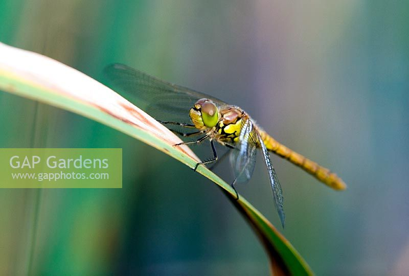 English hawker dragonfly resting on a reed