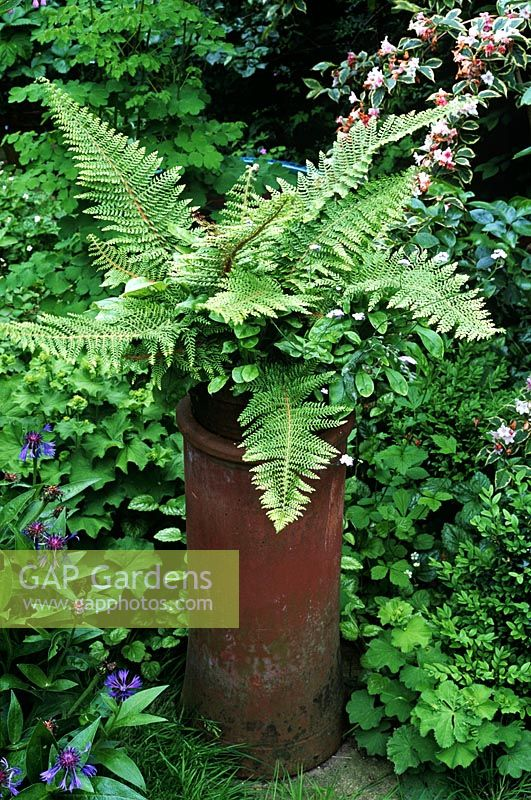 Polystichum setiferum proliferum - Fern in chimney pot adding height in border