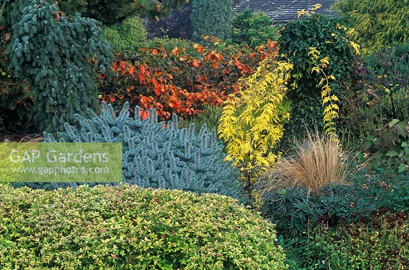 Autumn border with Spiraea japonica 'Magic Carpet', Picea sitchensis 'Tenas', Jasminum officinale 'Fiona Sunrise', Hedera helix (on stump), Stipa tenuissima, Helleborus foetidus 'Westerflisk', Hamamelis x intermedia 'Diane' and Picea omorika Pendula Brunus in October