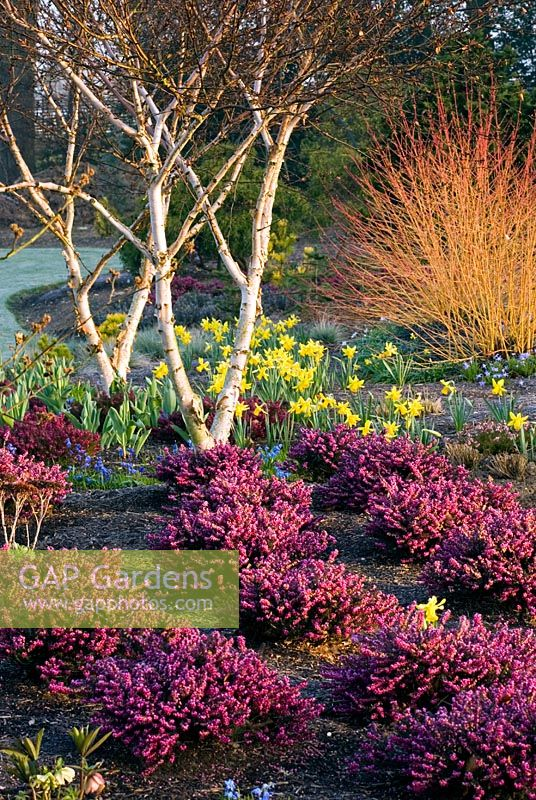 Winter border with Heathers, Trees, Shrubs and Bulbs. Erica x darleyensis 'Kramers Rote', Betula apoiensis 'Mount Apoi', Narcissus 'February Gold' and Cornus sanguinea 'idwinter Fire' rch, late winter, early spring. Designer Adrian Bloom.