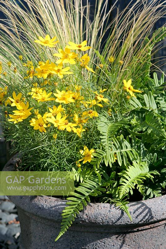 Coreopsis verticellata 'Zagreb' in an autumn container with Stipa tenuissima and Polypodium vulgare