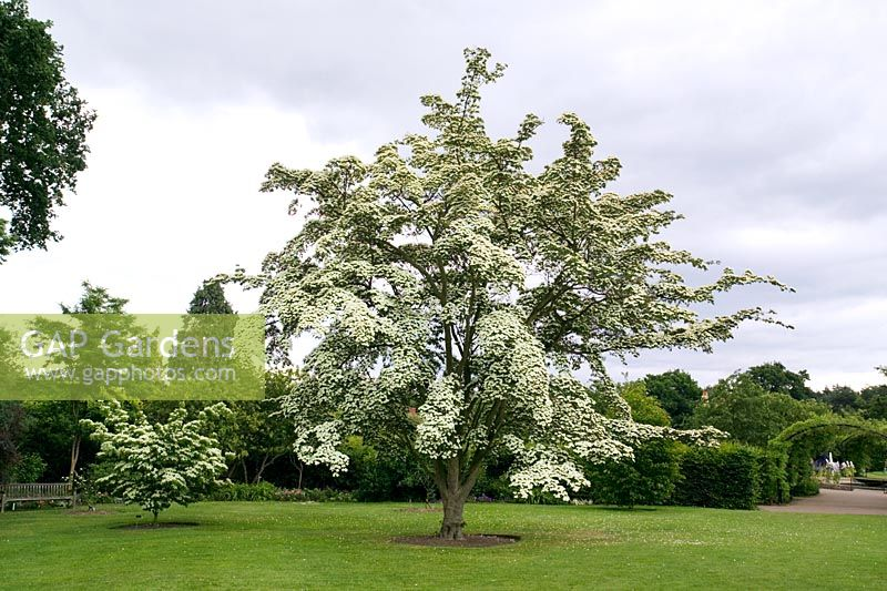 gap gardens cornus kousa var chinensis 39 wisley queen. Black Bedroom Furniture Sets. Home Design Ideas