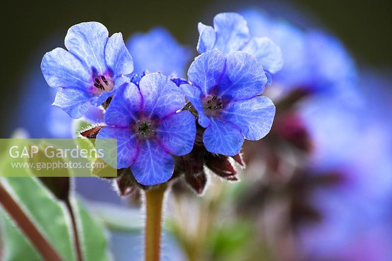Pulmonaria 'Lewis Palmer' - Lungworts
